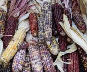 Biodiversità del mais