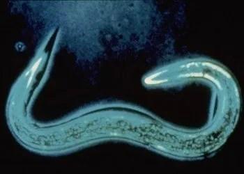 Ingrandimento di heterorhabditis bacteriophora nematode entomopatogeno