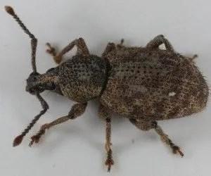 Oziorrinco Otiorrhynchus cribricollis