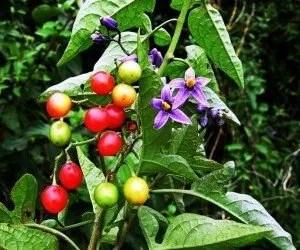 Piante velenose Solanum dulcamara
