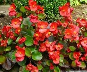 Piante da fiore Begonia semperflorens
