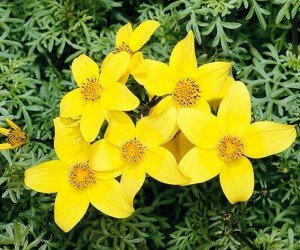 Piante da fiore Bidens ferulifolia