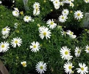 Piante da fiore Brachycome multifida surdaisy
