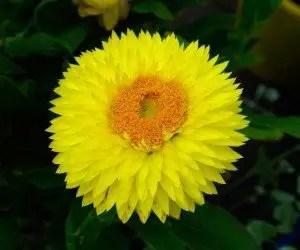 Piante da fiore Bracteantha bracteata