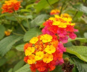 Piante da fiore Lantana camara
