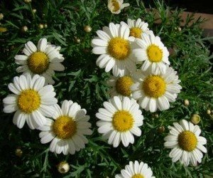Piante da fiore Margherita delle Canarie Argyranthemum frutescens