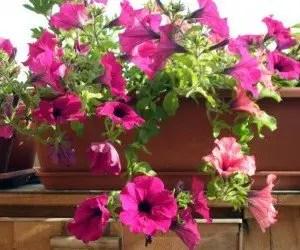 Piante da fiore Petunia ricadente surfinia