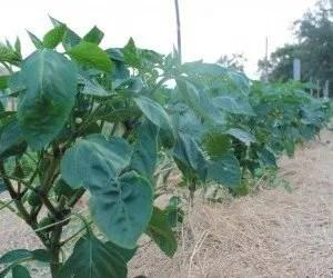 Pacciamtura naturale su campo di peperoni