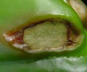 Scottatura del peperone