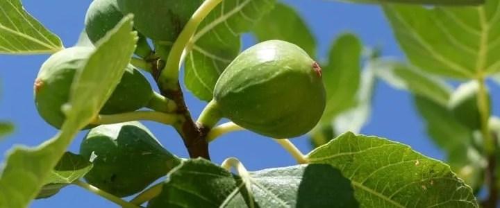 Il fico. Come crescere un albero sano e rigoglioso