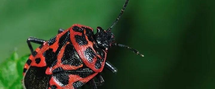Cimice rossonera Eurydema ventralis)