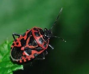 Cimice rossonera Eurydema ventralis