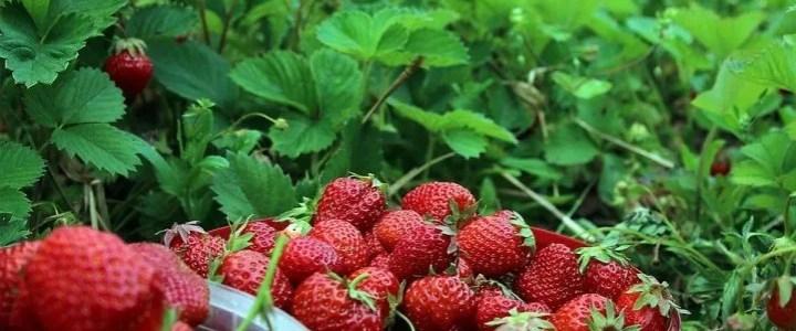 Come coltivare piante di fragole in modo biologico