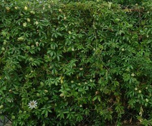 Passiflora ornamentale
