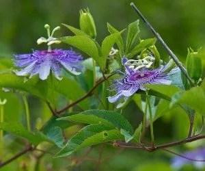 Pianta di passiflora