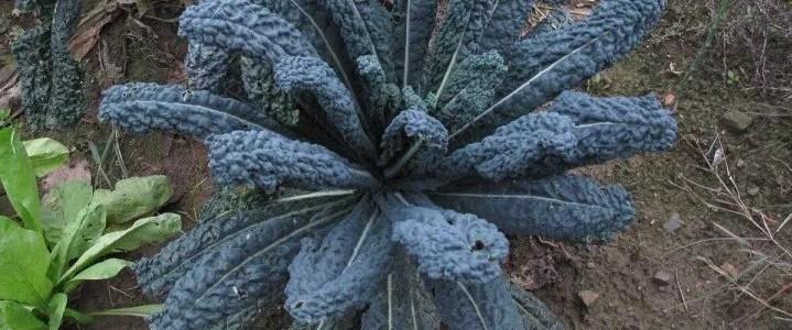 Il cavolo nero, come coltivarlo e le caratteristiche della pianta