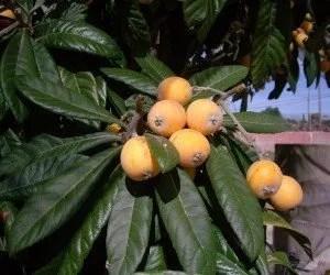 Frutti maturi di nespolo giapponese
