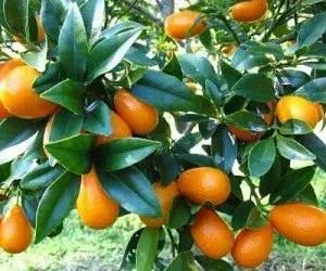kumquat ornamentale