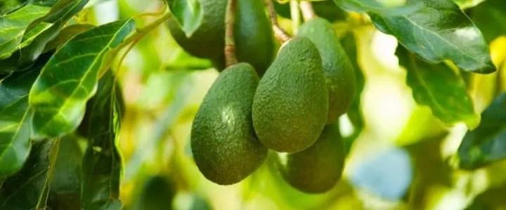 Avocado frutti