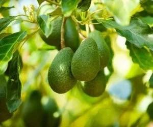 Avocado frutti immaturi