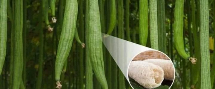 La luffa o spugna vegetale, come coltivarla nell'orto