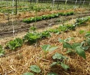Coltivare fagioli con sostegni e pacciamatura