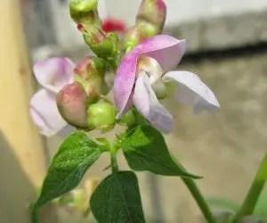 Fiore di fagiolo