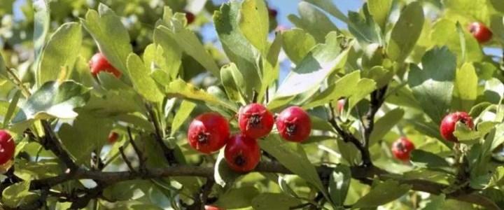 L'azzeruolo, caratteristiche e coltivazione di un piccolo frutto tradizionale