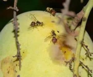 Attacco della mosca orientale della frutta