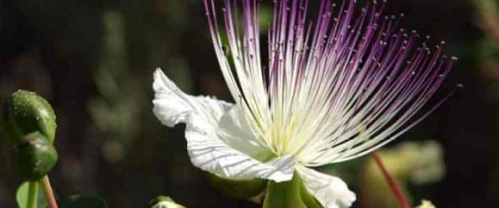 Capperi, la coltivazione della pianta nell'orto domestico