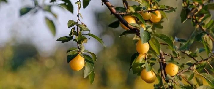 Il susino, la coltivazione biologica nel frutteto