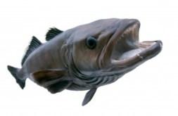 Tandfisk