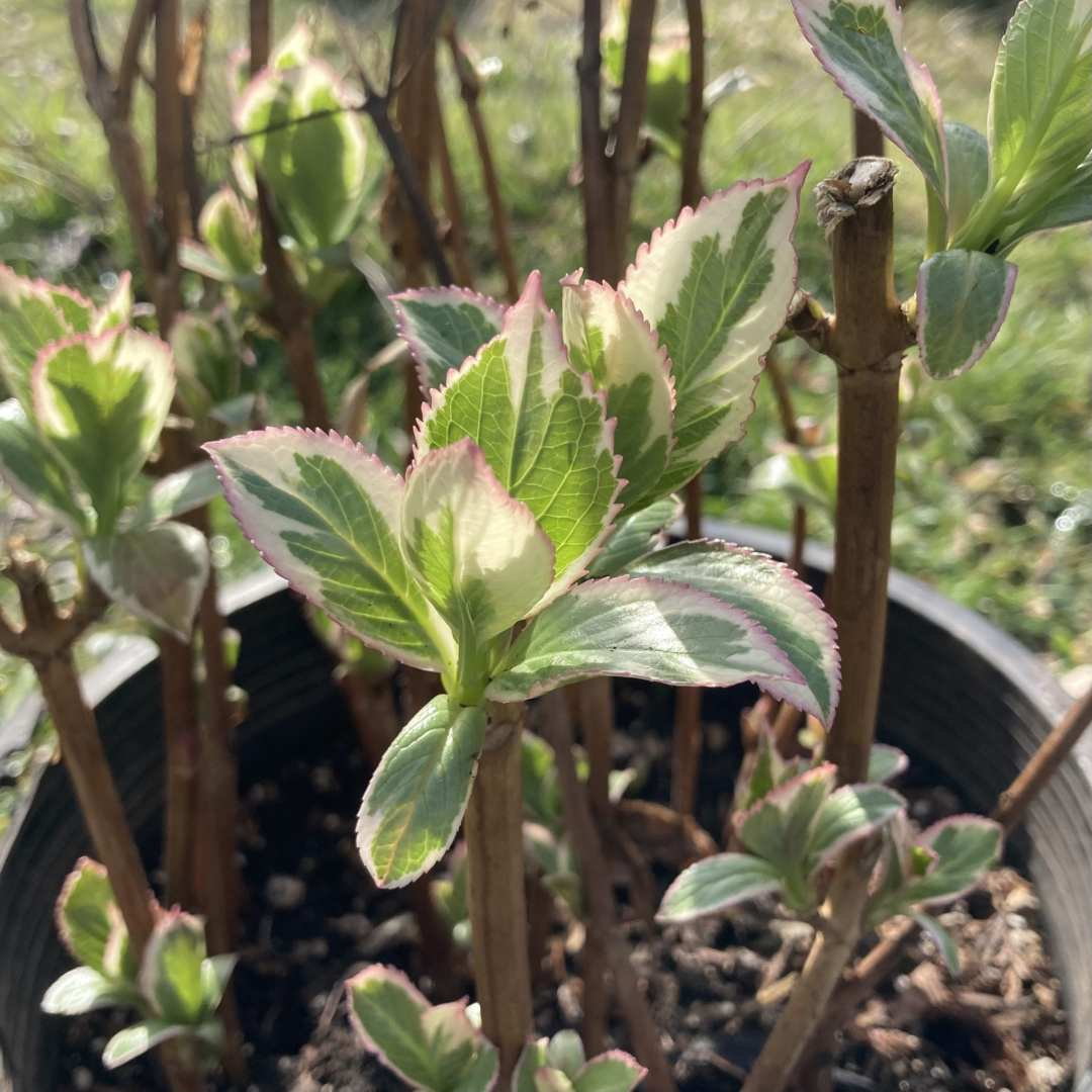 Variegated Hydrangea Cuttings