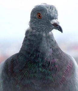 foto-porumbel-nenaparlit-mare21