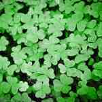 Shamrock Club St. Patrick's Day Parade and Irish Family Reunion