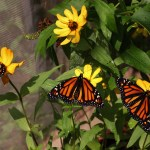 Monarch Weekend at Blendon Woods