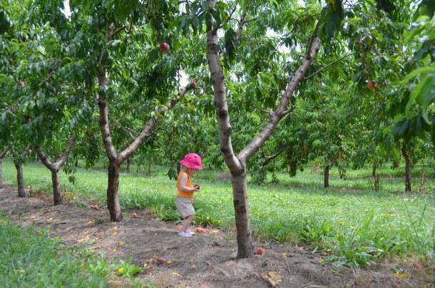 apple picking peach picking