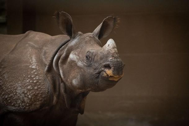 rhino columbus zoo