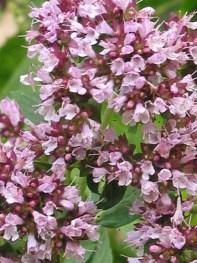 Flore de la Combe Tabeillon