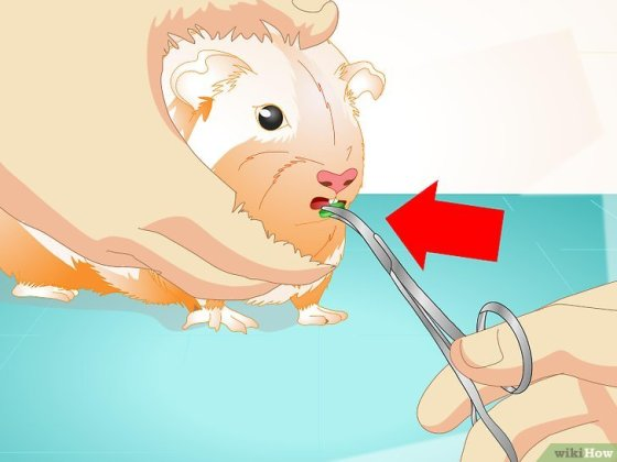 Immagine titolata Look After Your Sick Guinea Pig Step 5