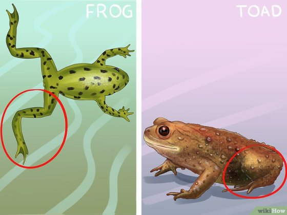Immagine titolata Tell the Difference Between a Frog and a Toad Step 1