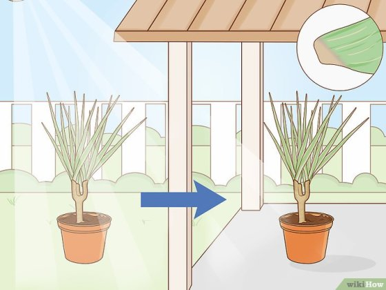 Immagine titolata Care for a Madagascar Dragon Tree Step 15