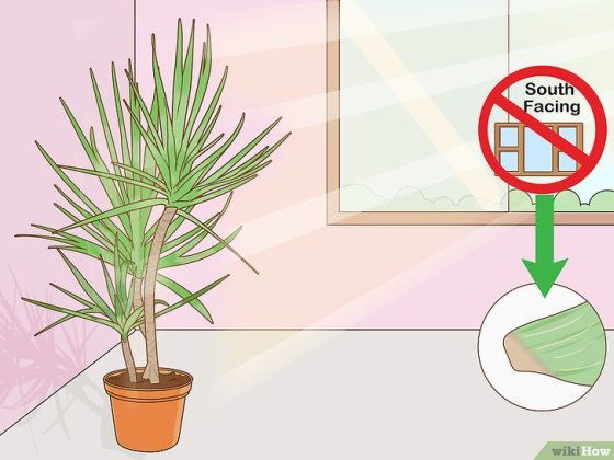 Immagine titolata Care for a Madagascar Dragon Tree Step 5