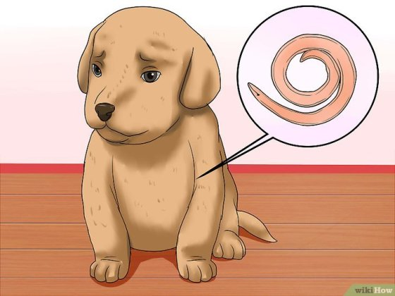 Immagine titolata Diagnose Hookworms in Dogs Step 6