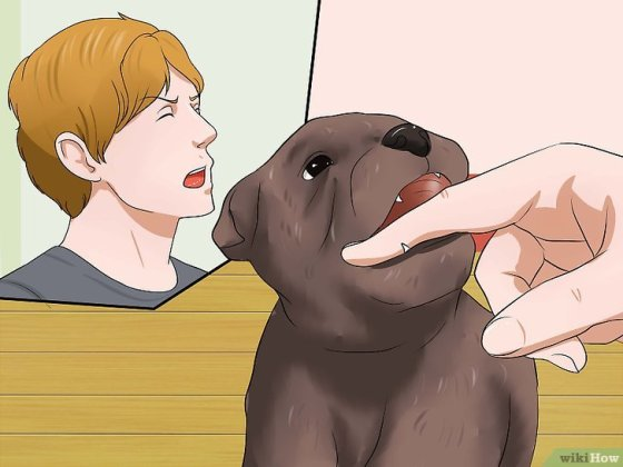 Immagine titolata Get Your Small Dog to Stop Biting and Barking at You Step 14