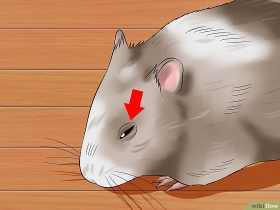 Immagine titolata Help a Hamster With Sticky Eye Step 2