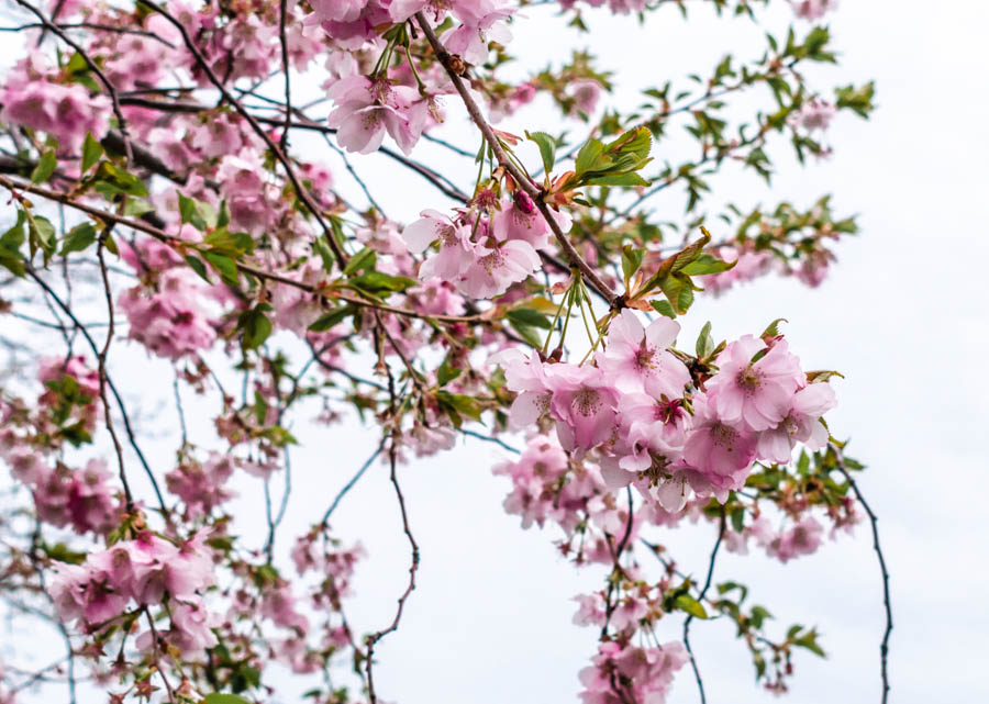 Cherry Blossoms in Buffalo