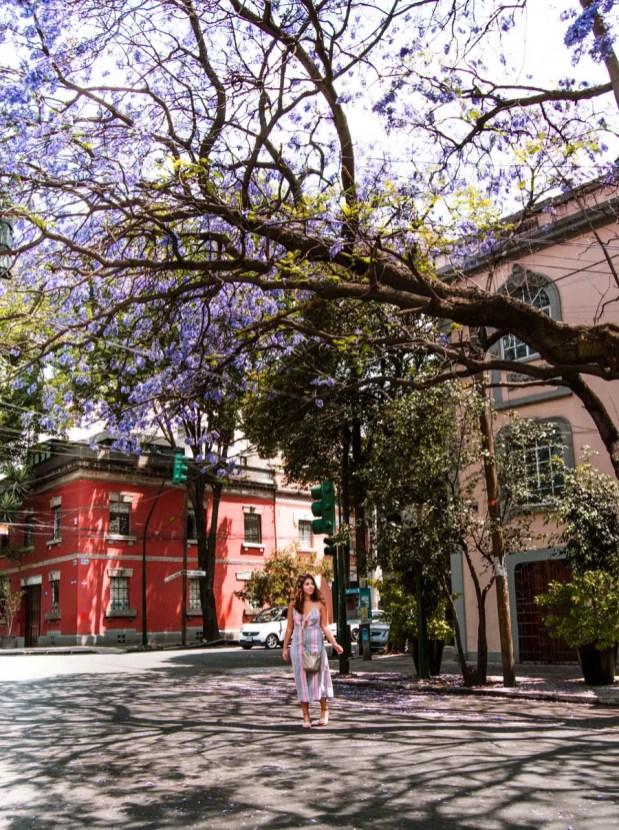 Jacarandas in Mexico City Condesa