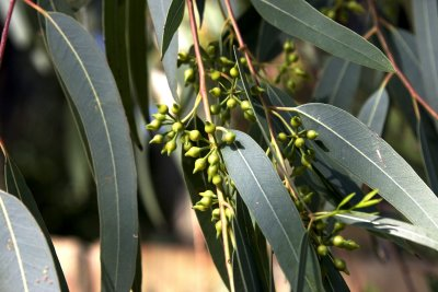 flores-eucalipto