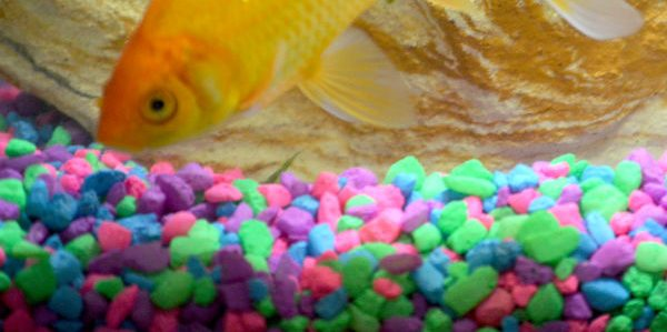 comet goldfish facts